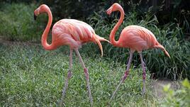 Какво е общото между спанака и фламингото?