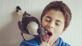 В австралийско семейство отглеждат сврака като домашен любимец