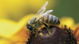 Първа помощ при ухапване от пчели, оси, стършели или паяци