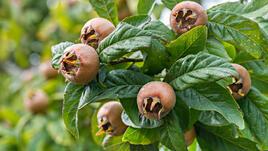 Мушмули - неоснователно пренепрегваните суперплодове
