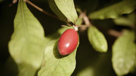 7 ползи от употребата на чудния плод, който заменя захарта