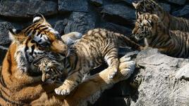 Популацията на тигри нараства за първи път от сто години