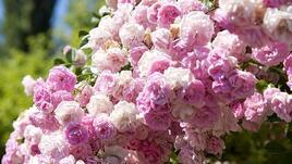 Антистрес терапия: розите